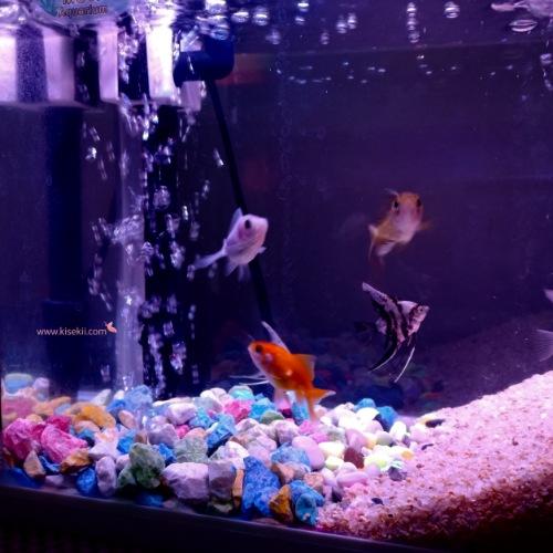 memelihara-ikan-di-aquarium